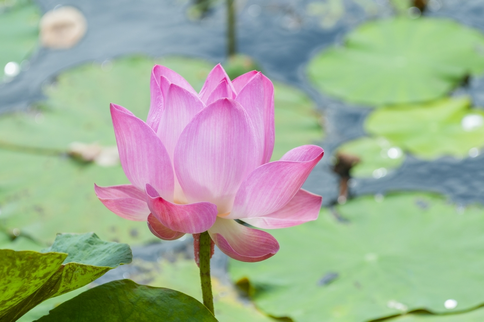 Fiore di loto - Nelumbo nucifera - Coltivazione