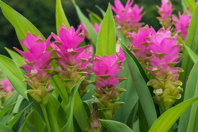 fiori di curcuma