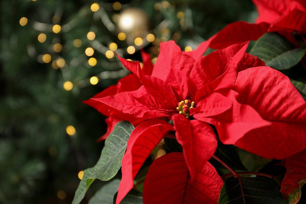 Stella di Natale - Euphorbia pulcherrima - Poinsettia