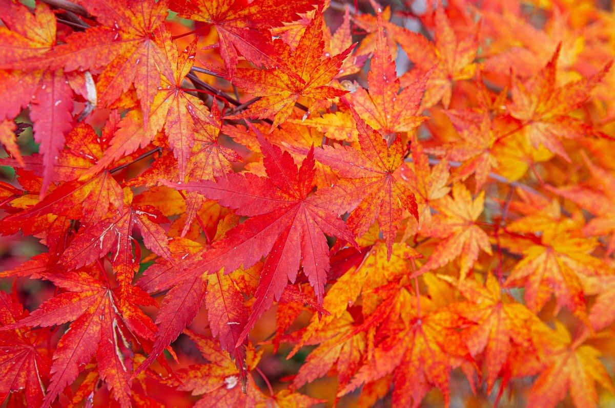 Acero giapponese - Coltivazione - Acero nano - Prezzo