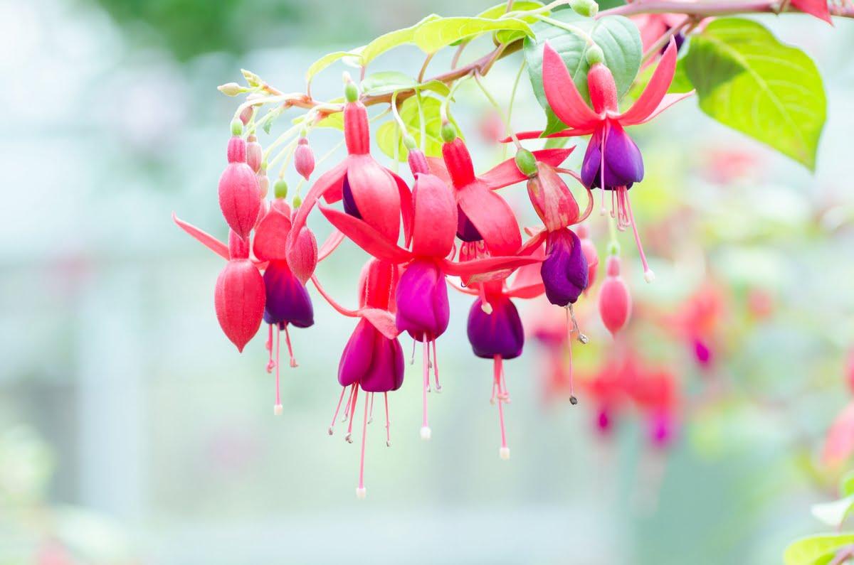 Fucsia - coltivazione - potatura