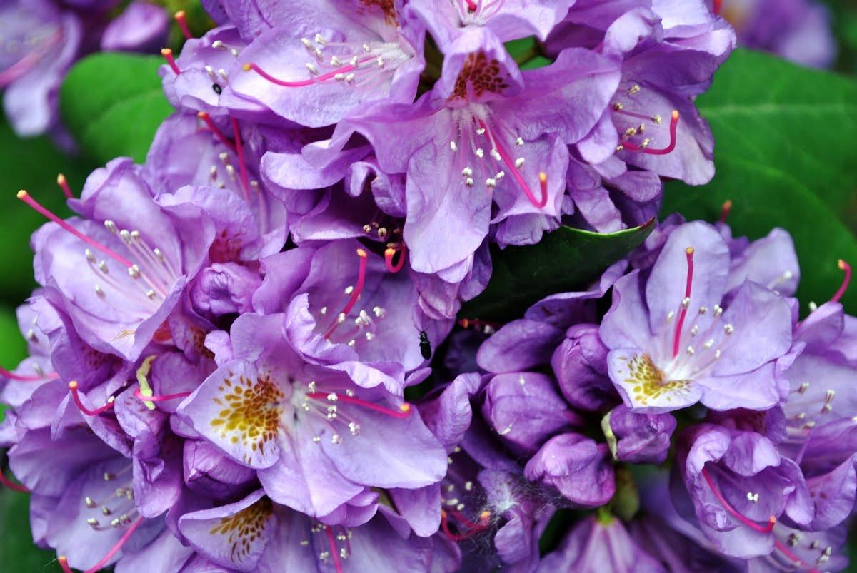 Rododendro - Coltivazione - Cura - Avversità