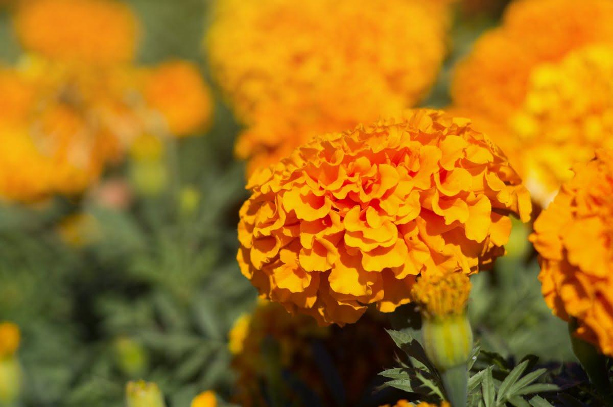 Tagete - Coltivazione e cura - Avversità