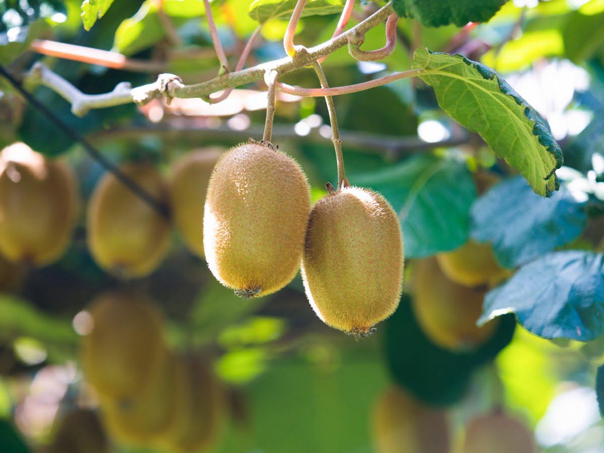 Kiwi - coltivazione