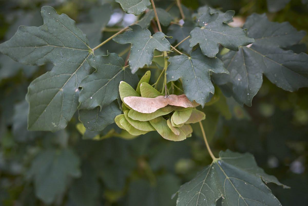 Acero campestre - Coltivazione