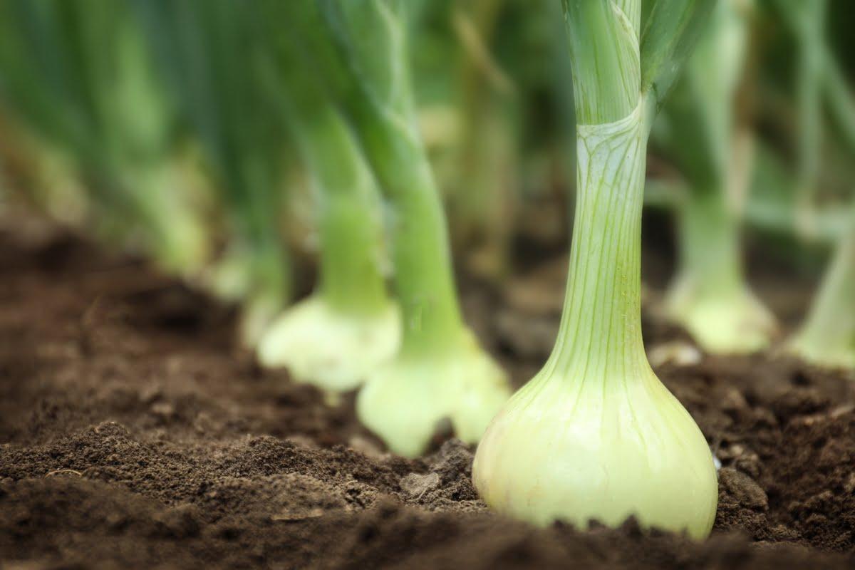 Semina delle cipolle