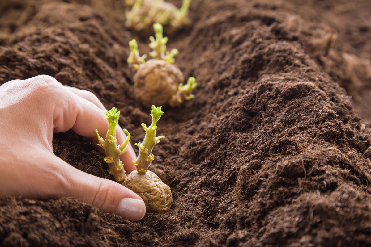 Coltivazione delle patate