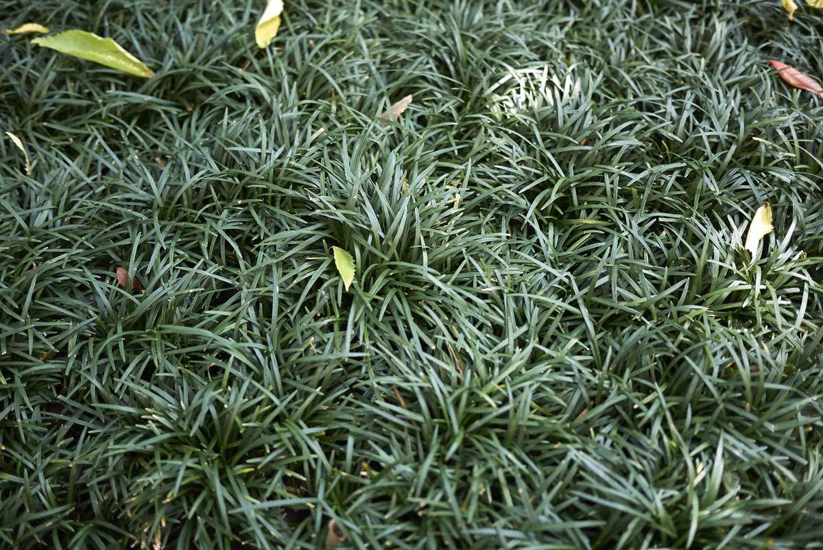 convallaria japonica nana