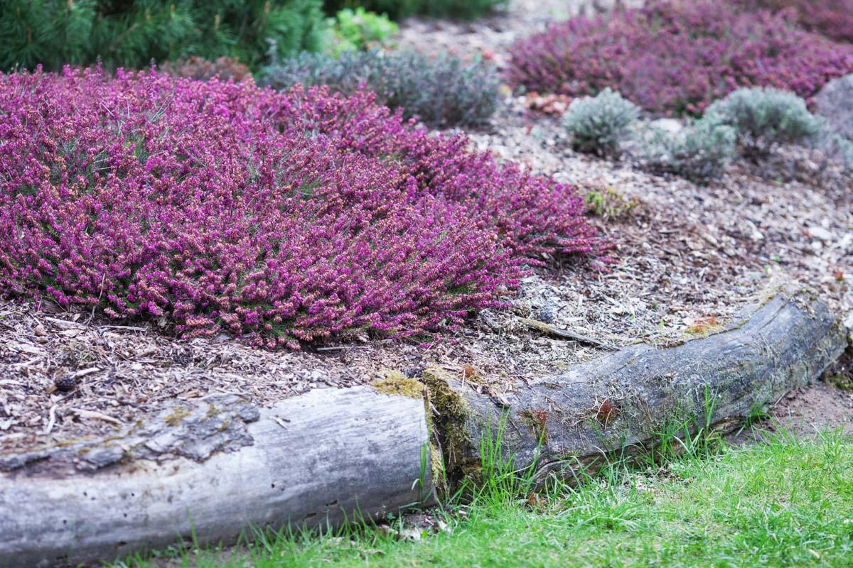 erica selvatica calluna vulgaris