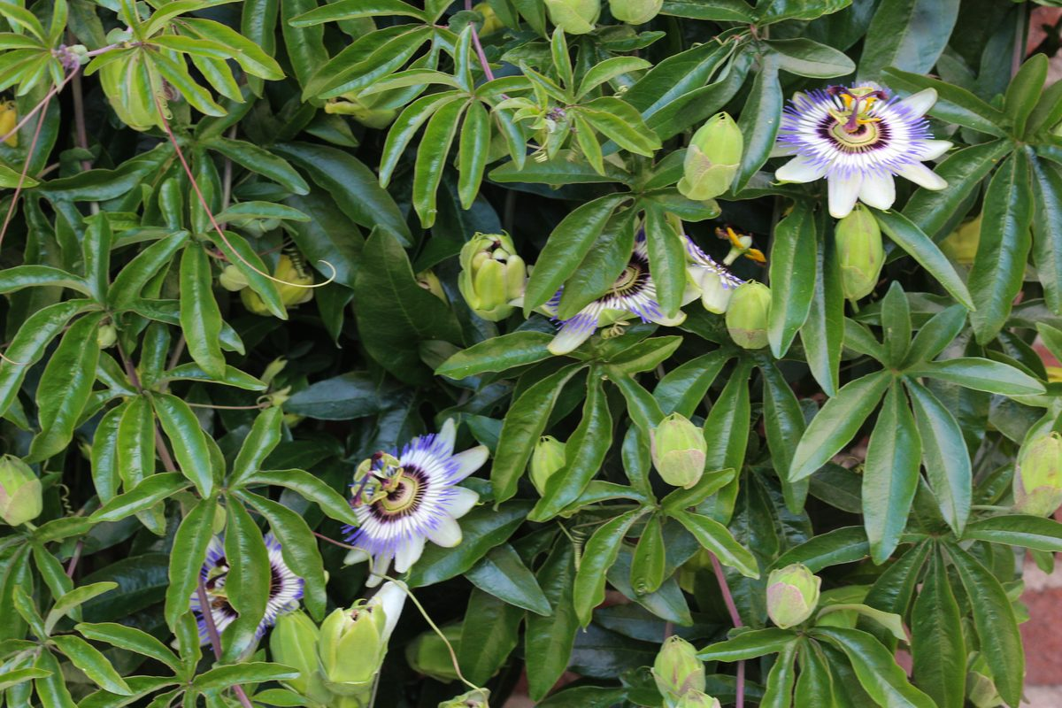 Piante rampicanti passiflora