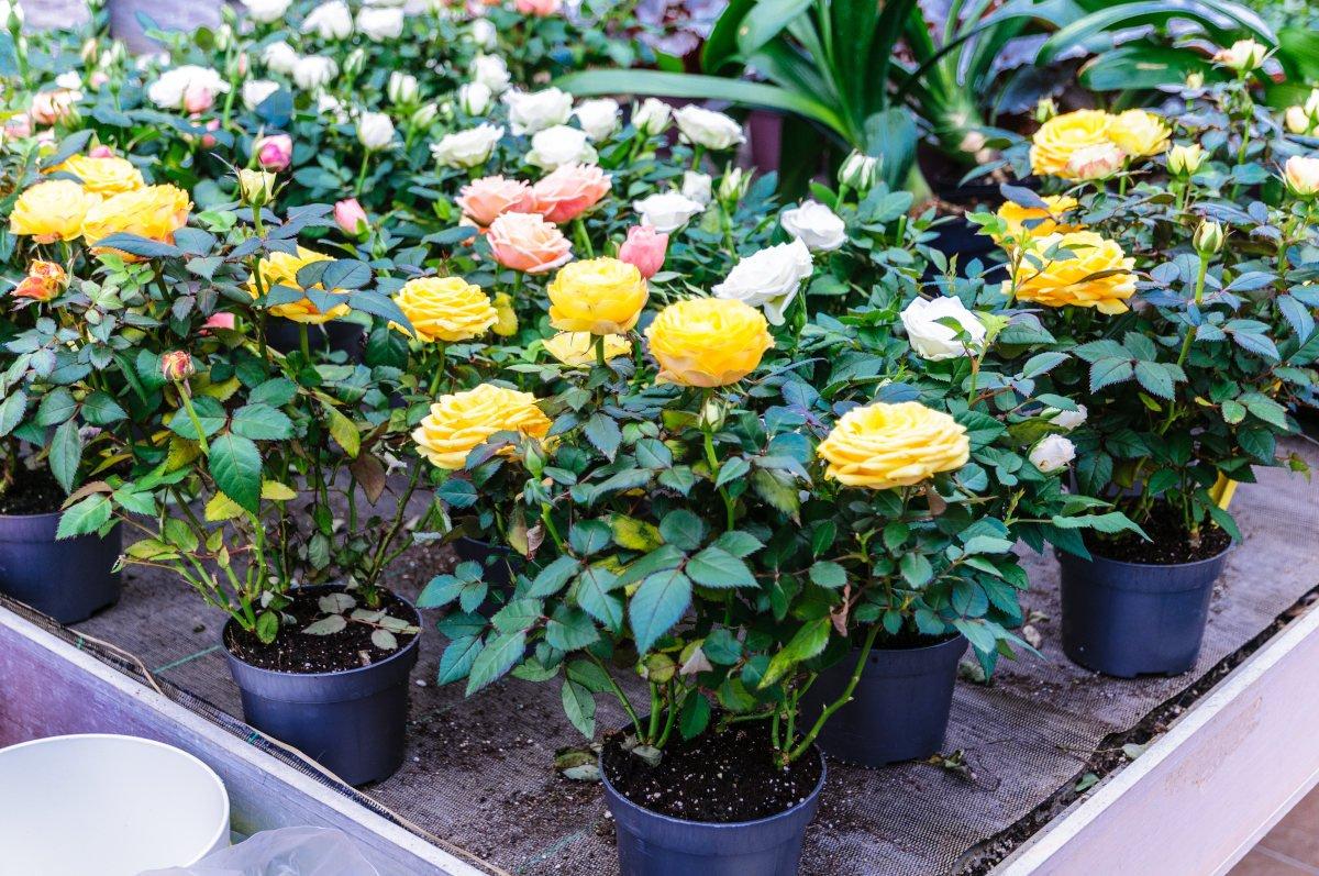 rosa - coltivazione