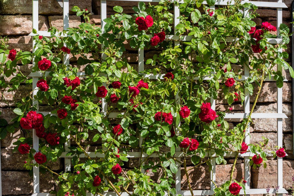 Piante rampicanti rose