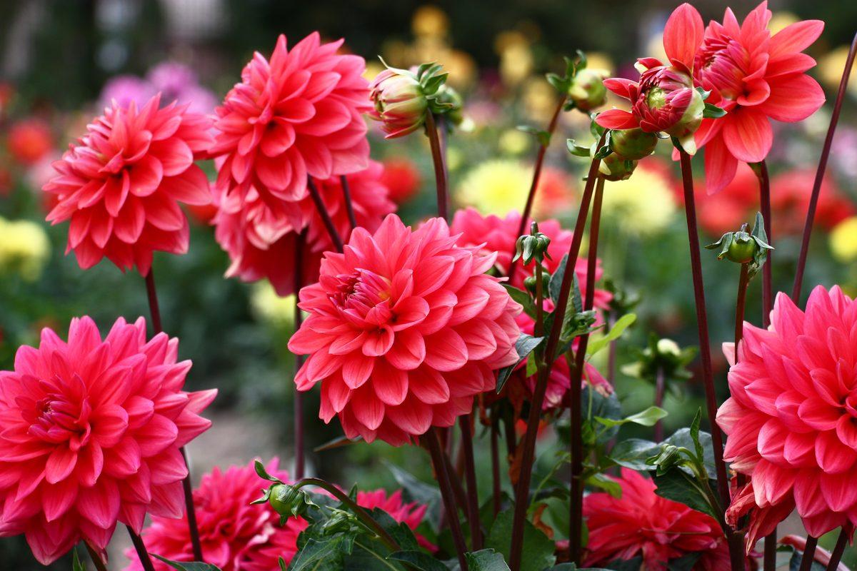 Piante ornamentali: dalia