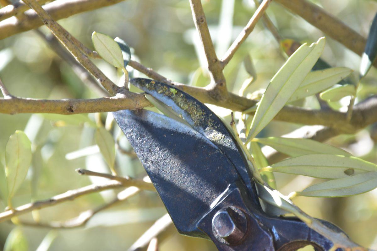 Innesto dell'olivo