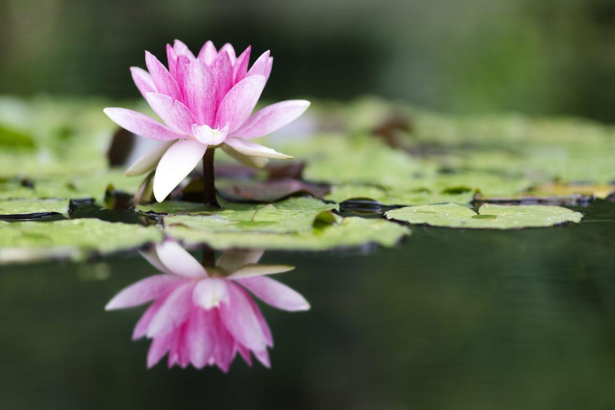 Piante acquatiche: ninfea