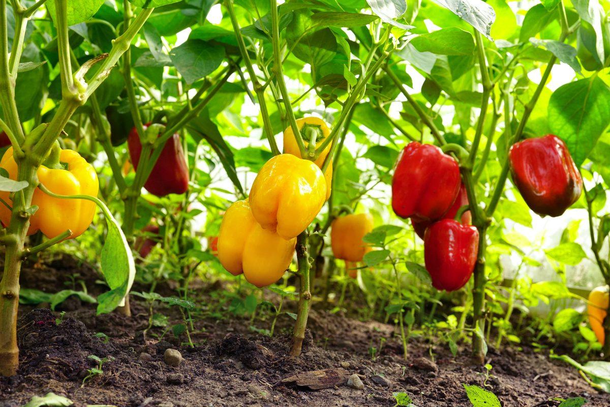 Potatura dei peperoni