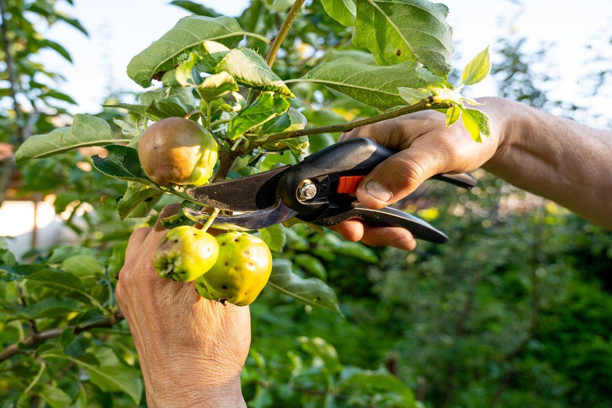 Potatura del melo