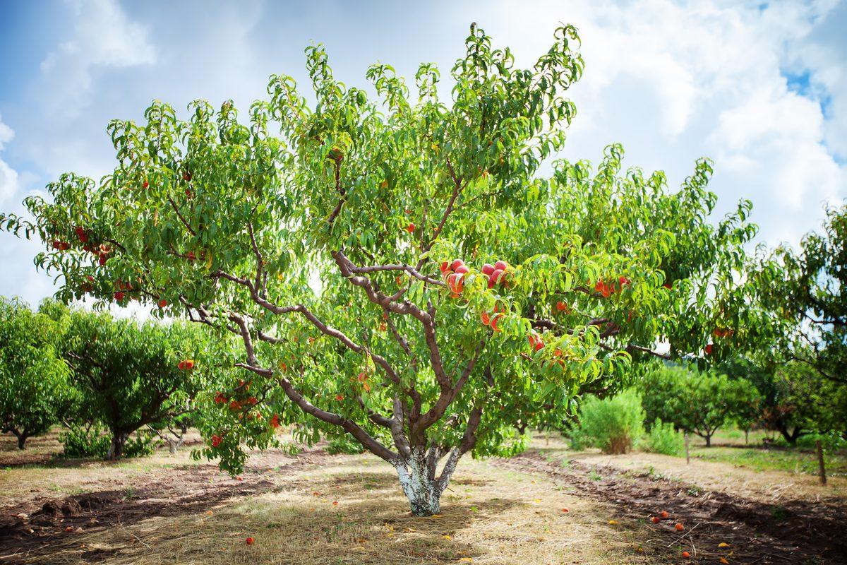 potatura delle piante da frutto