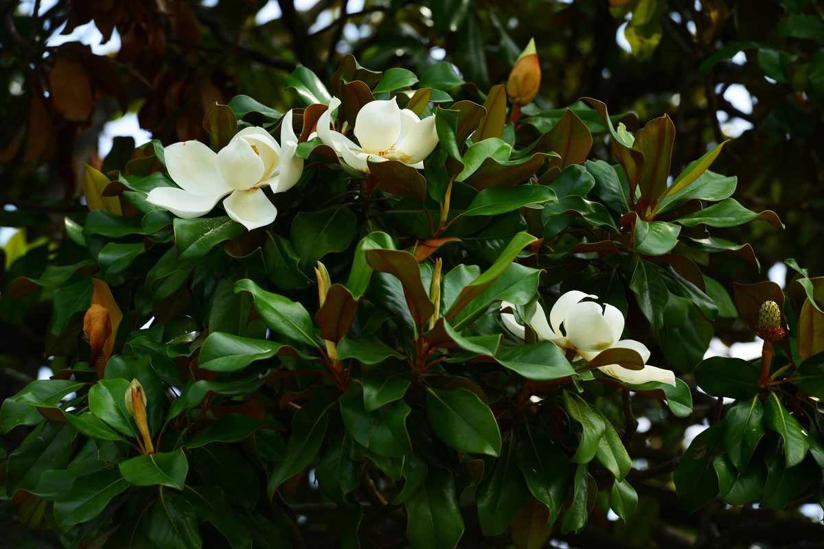 Potatura della magnolia