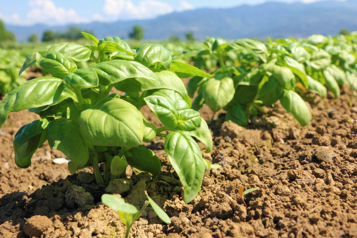 coltivazione del basilico