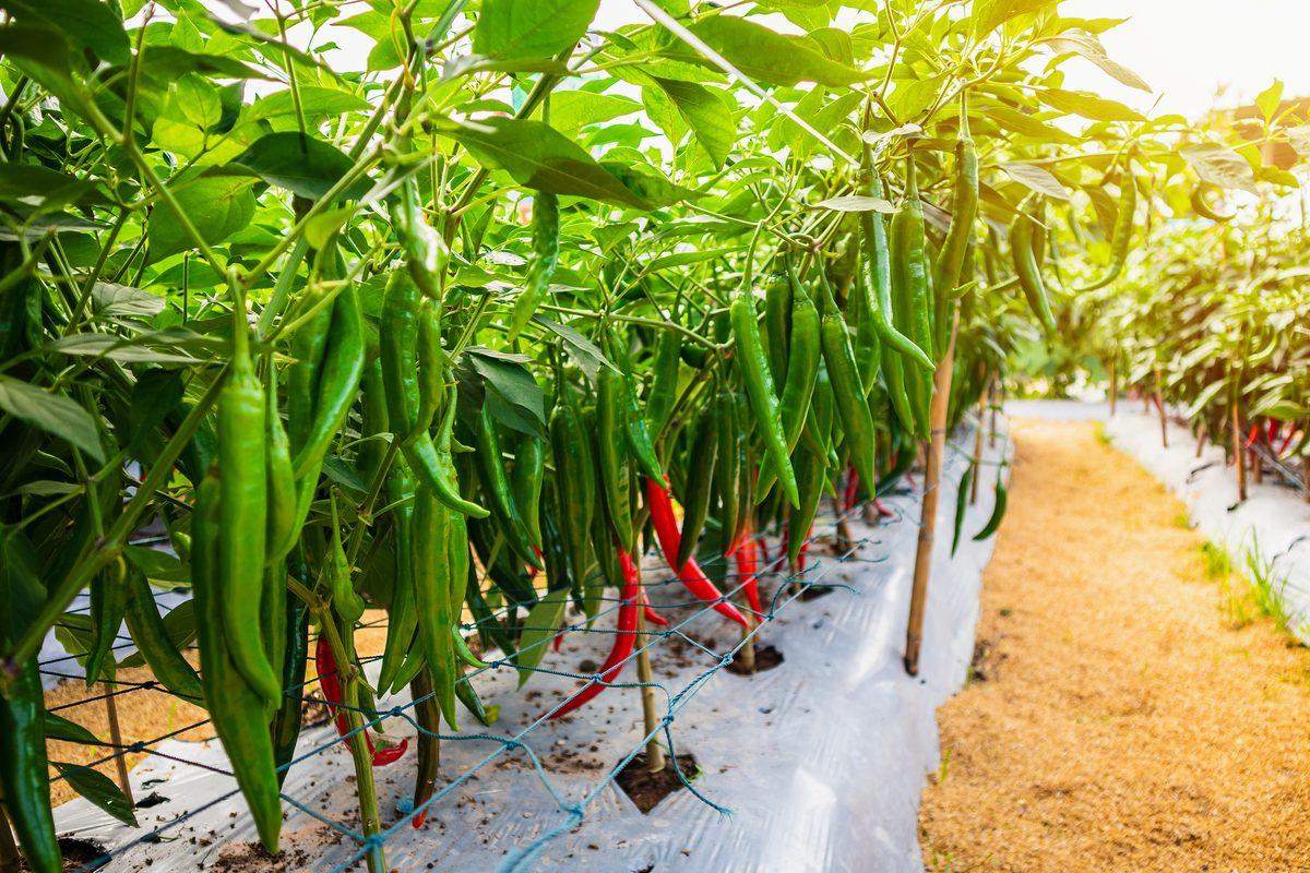 Semina peperoncino