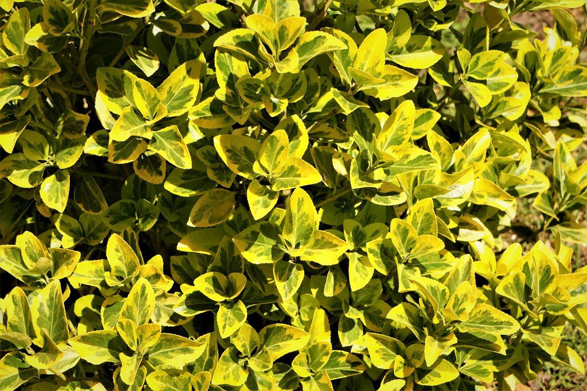 foglie di abelia grandiflora
