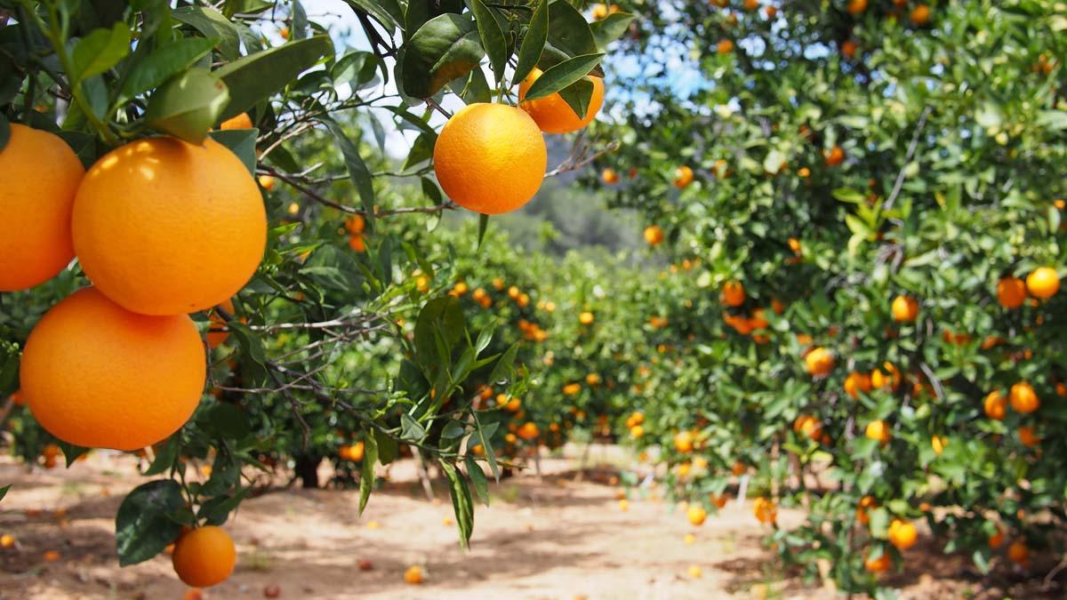 arancio coltivazione