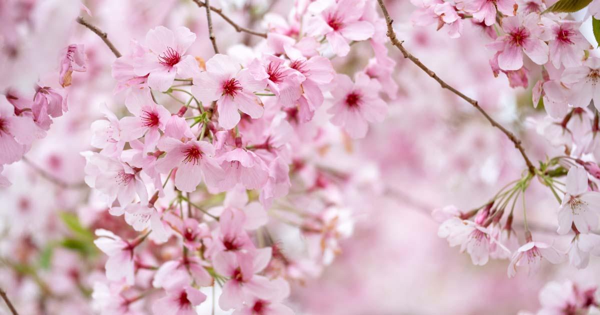 coltivazione ciliegio fiore