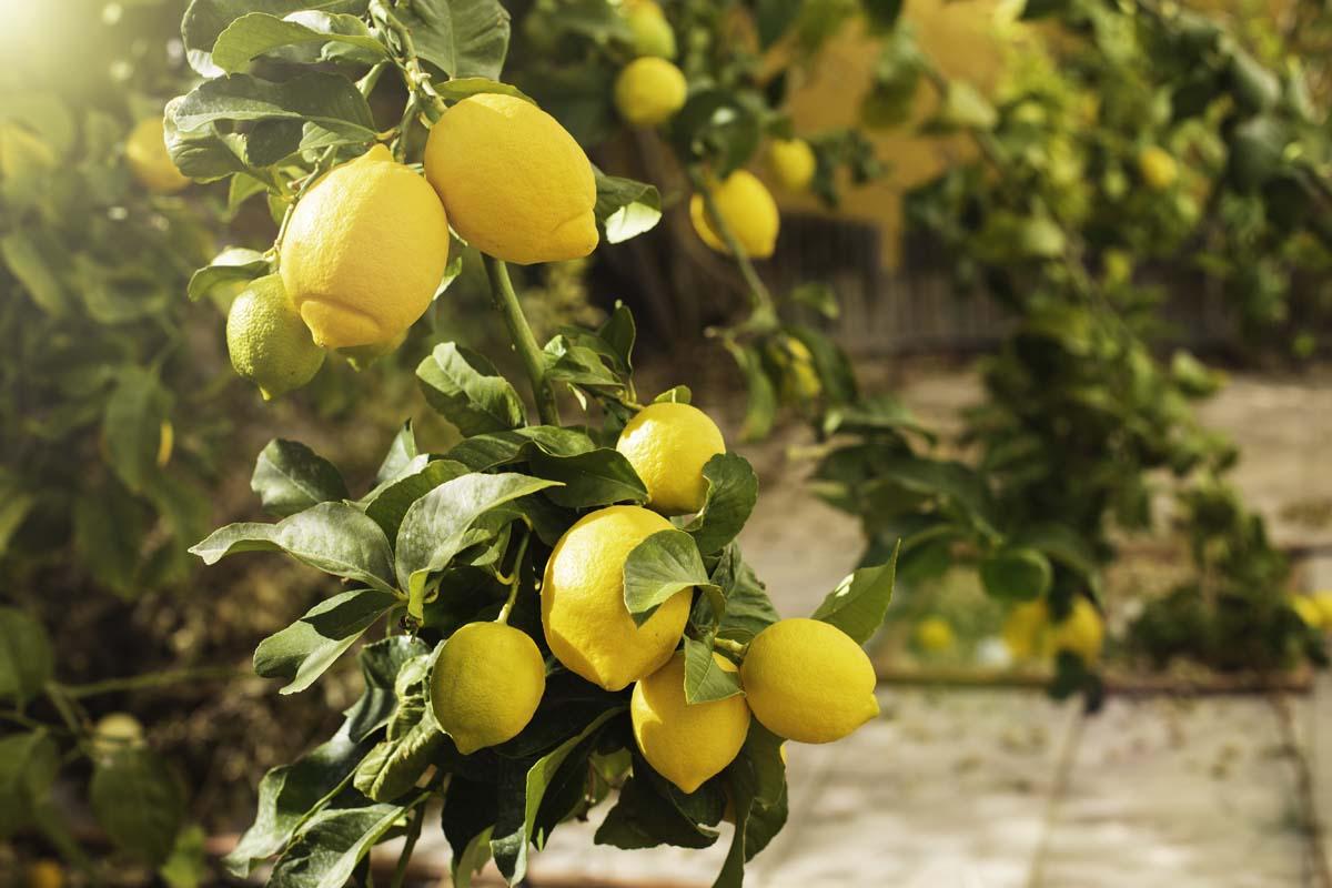 limone coltivazione