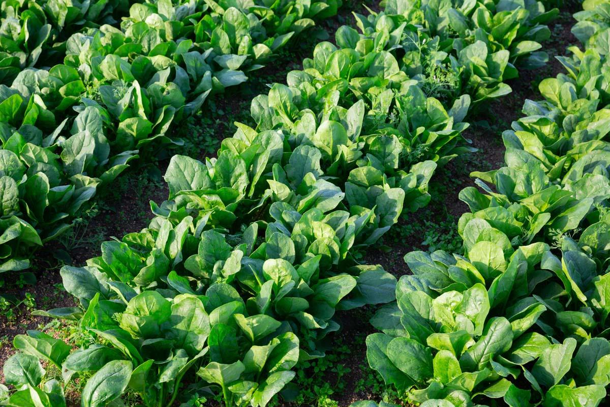 semina degli spinaci