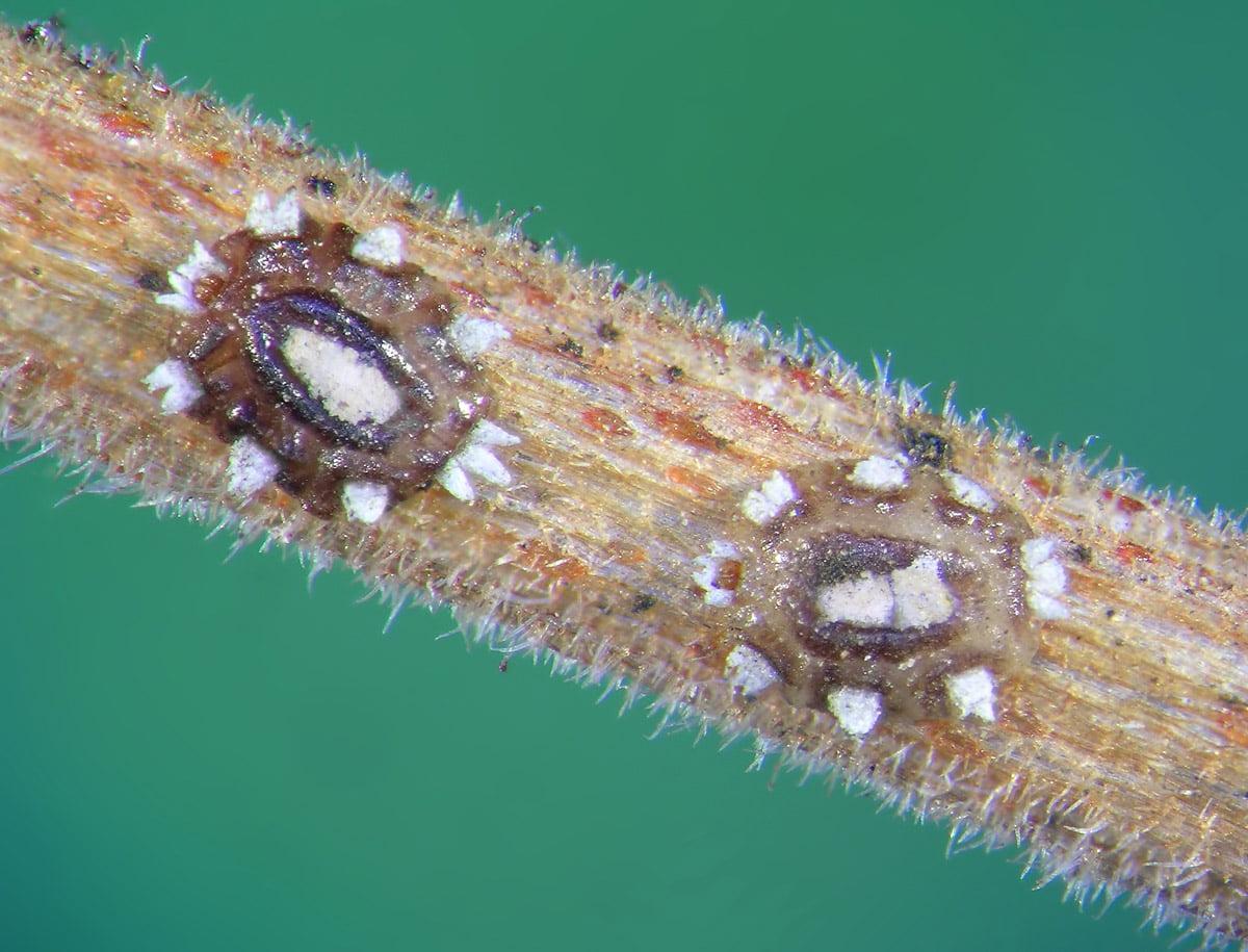cocciniglia del genere Ceroplastes