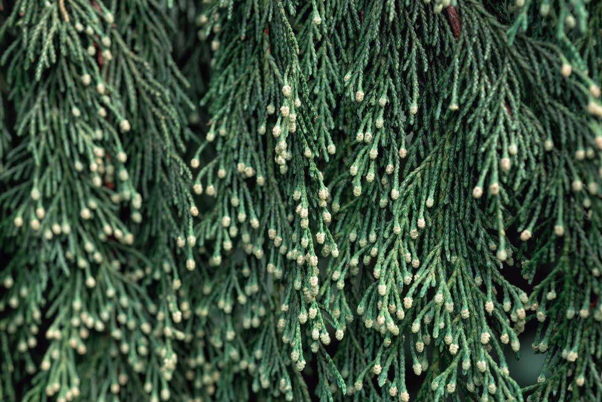 Chamaecyparis nootkatensis Pendula