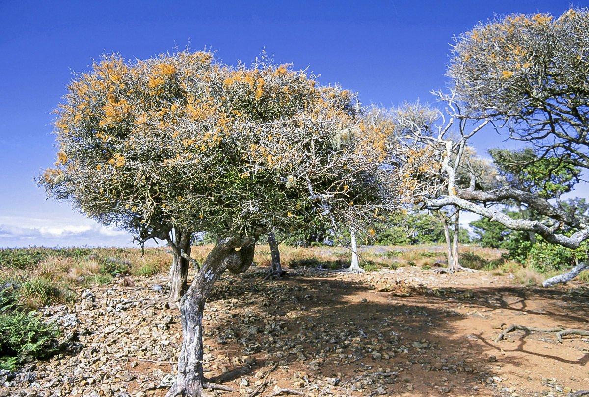 eritrina