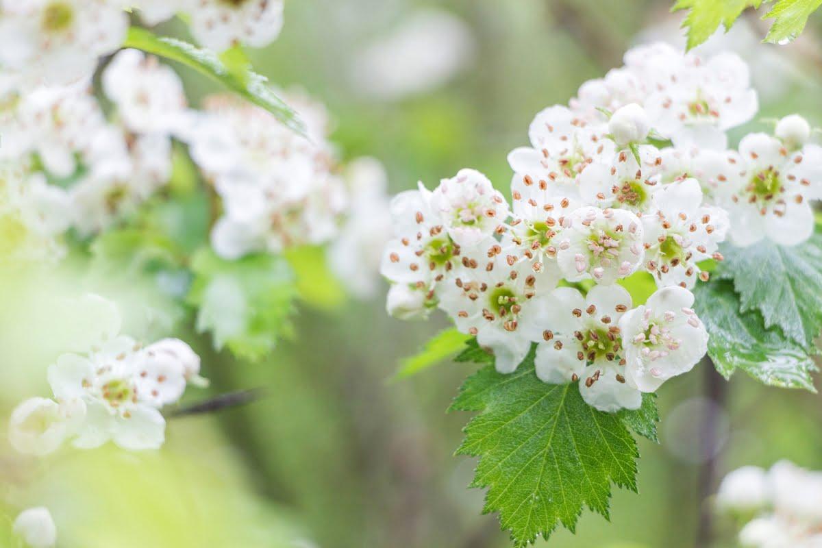 piante da siepe fiori di biancospino