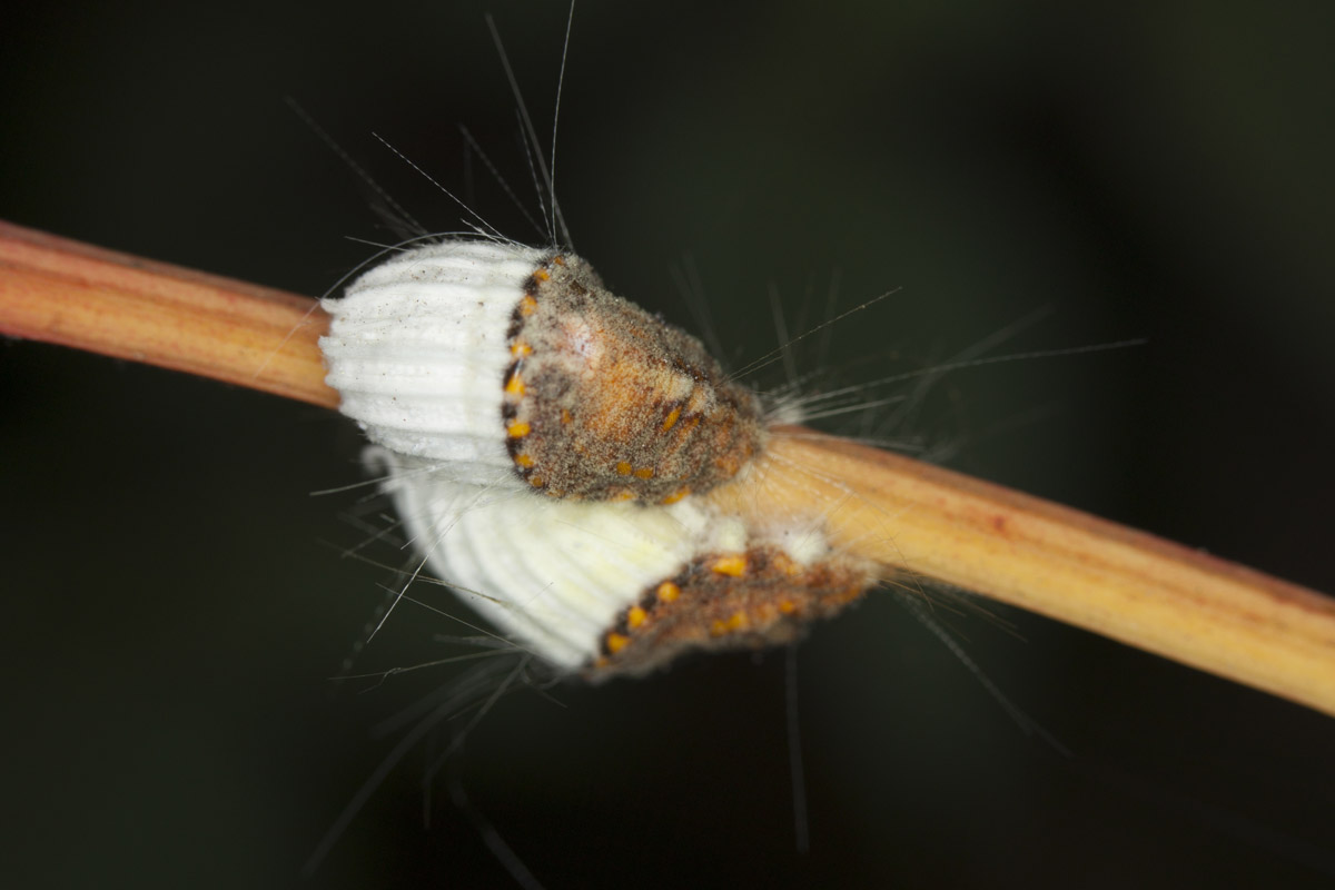 icerya purchasi cocciniglia