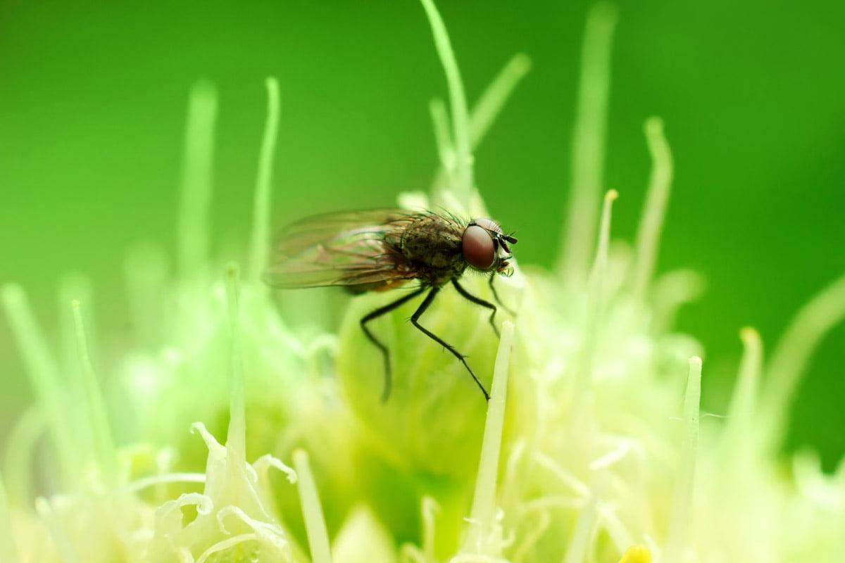 mosca della cipolla