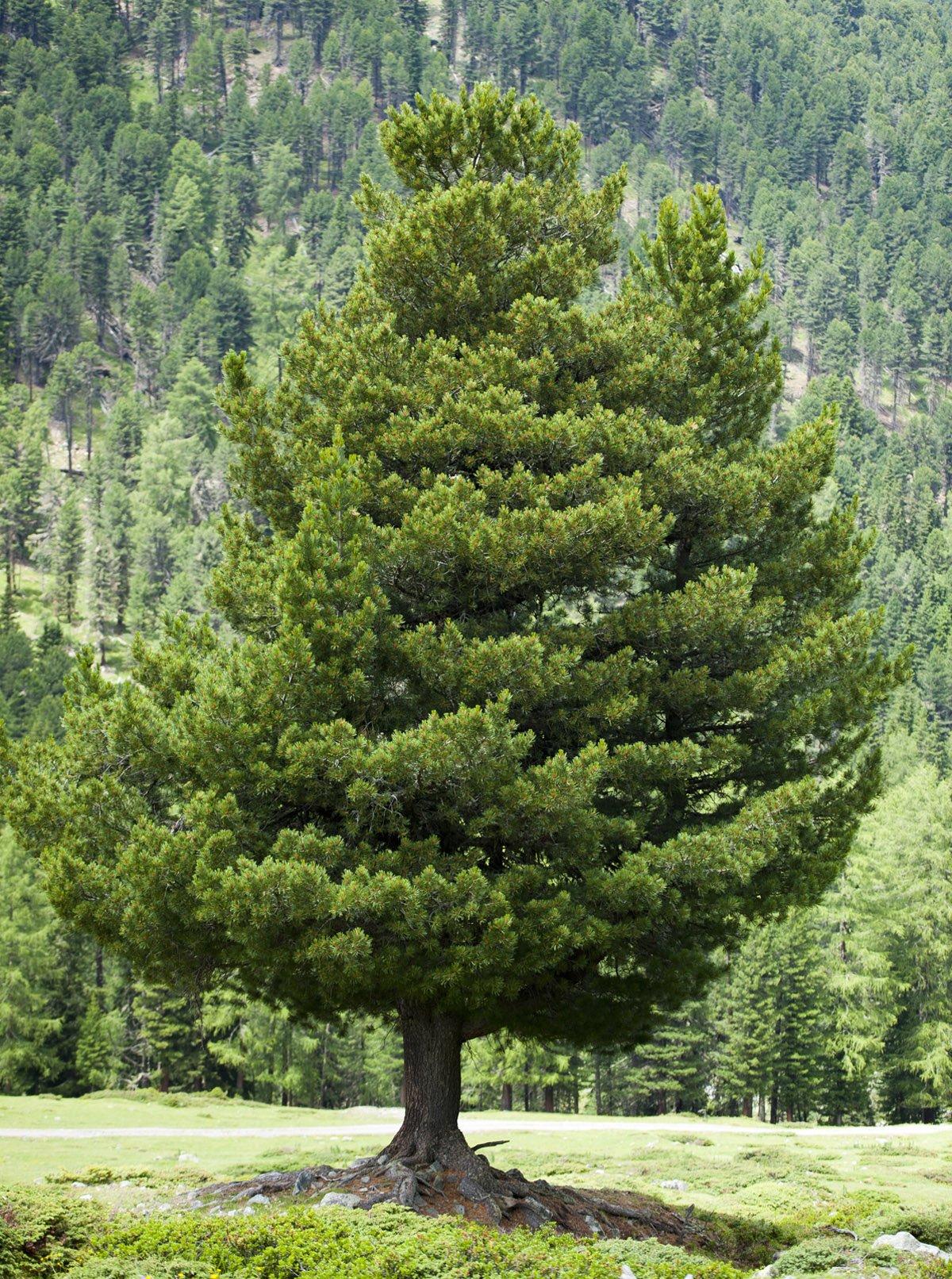 un pino cembro (Pinus cembra)