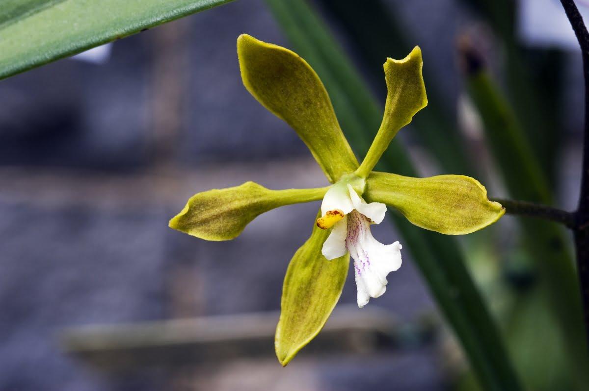 Orchidee immagini