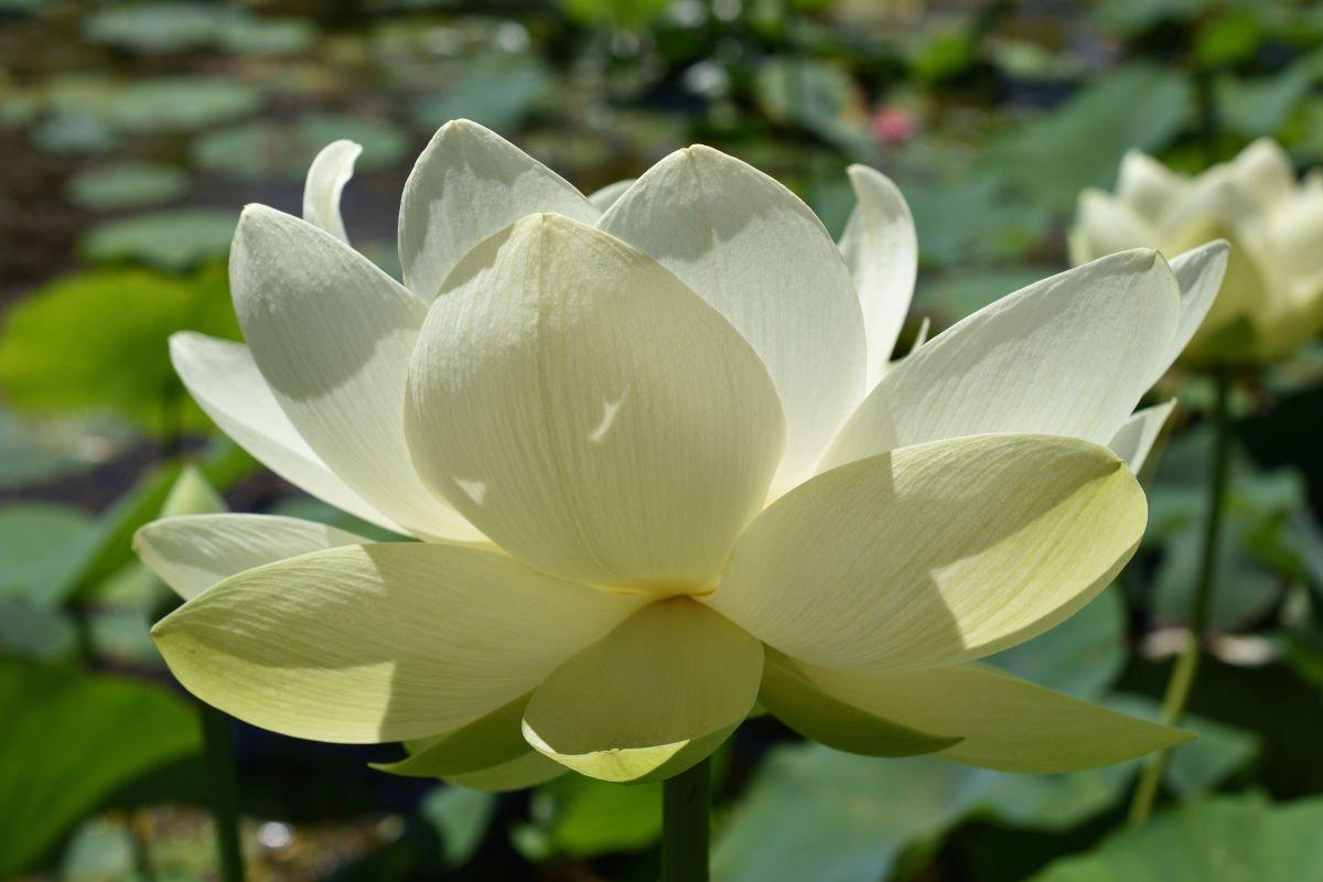 fiore di loto