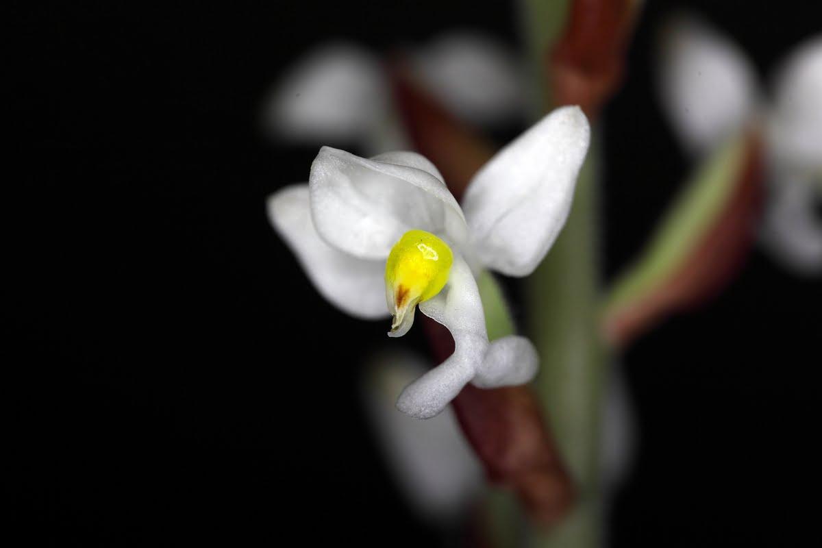 Immagini delle orchidee