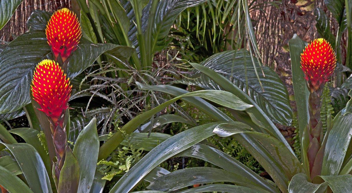 guzmania conifera