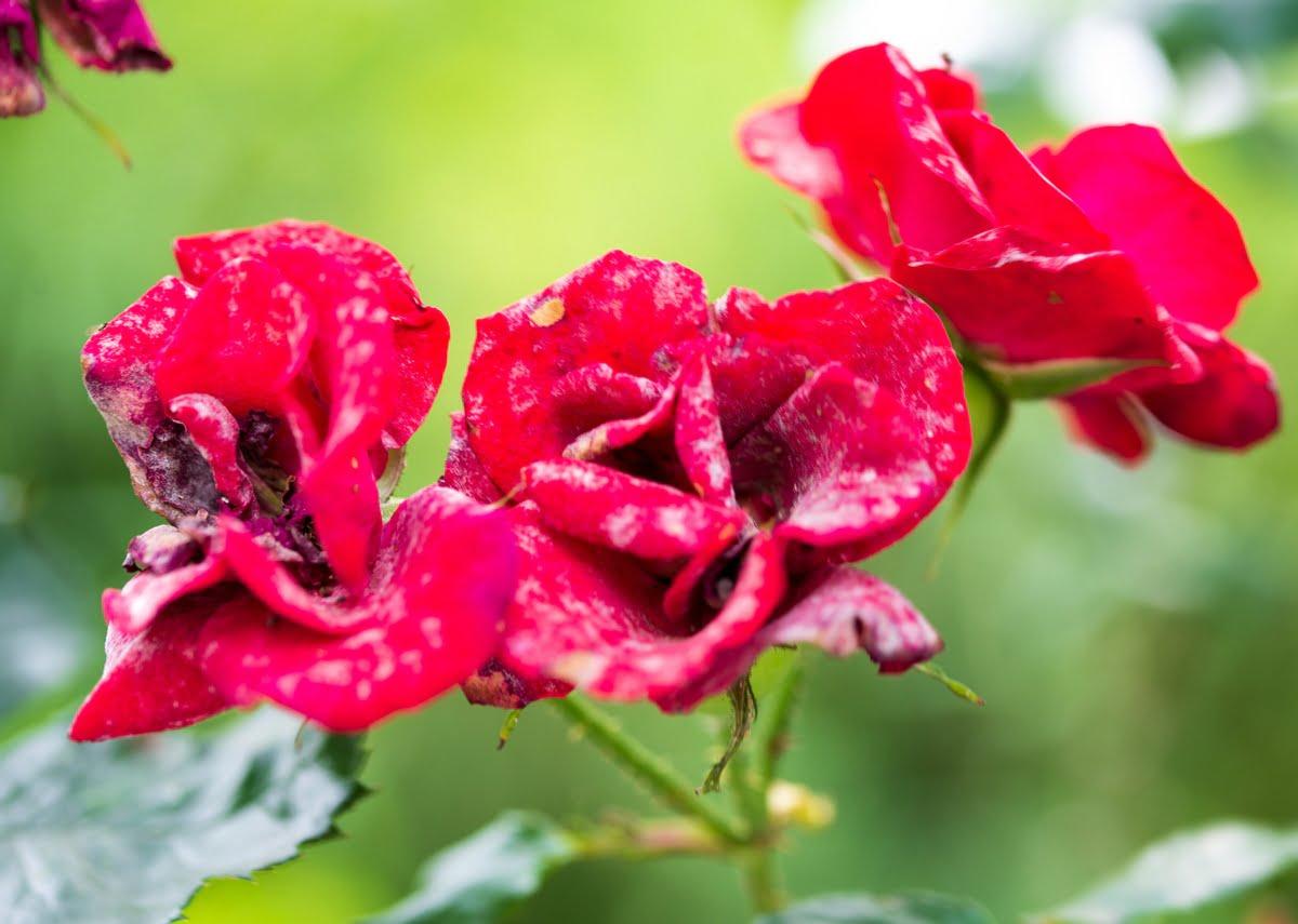 Oidio delle rose