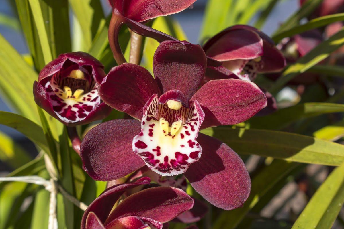 Cymbidium immagini orchidee