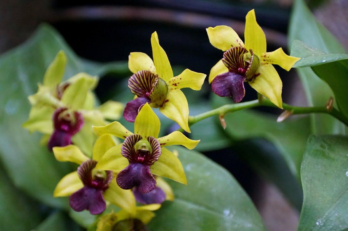 Orchidea del genere Dendrobium