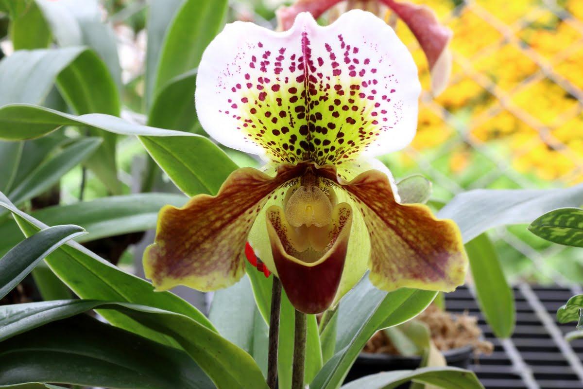 Orchidee fotografie