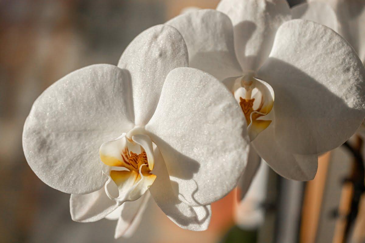 immagini orchidee