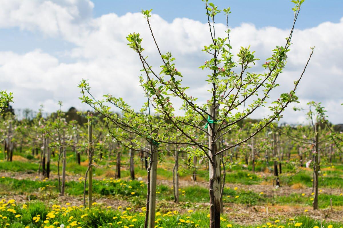 Coltivazione delle piante da frutto
