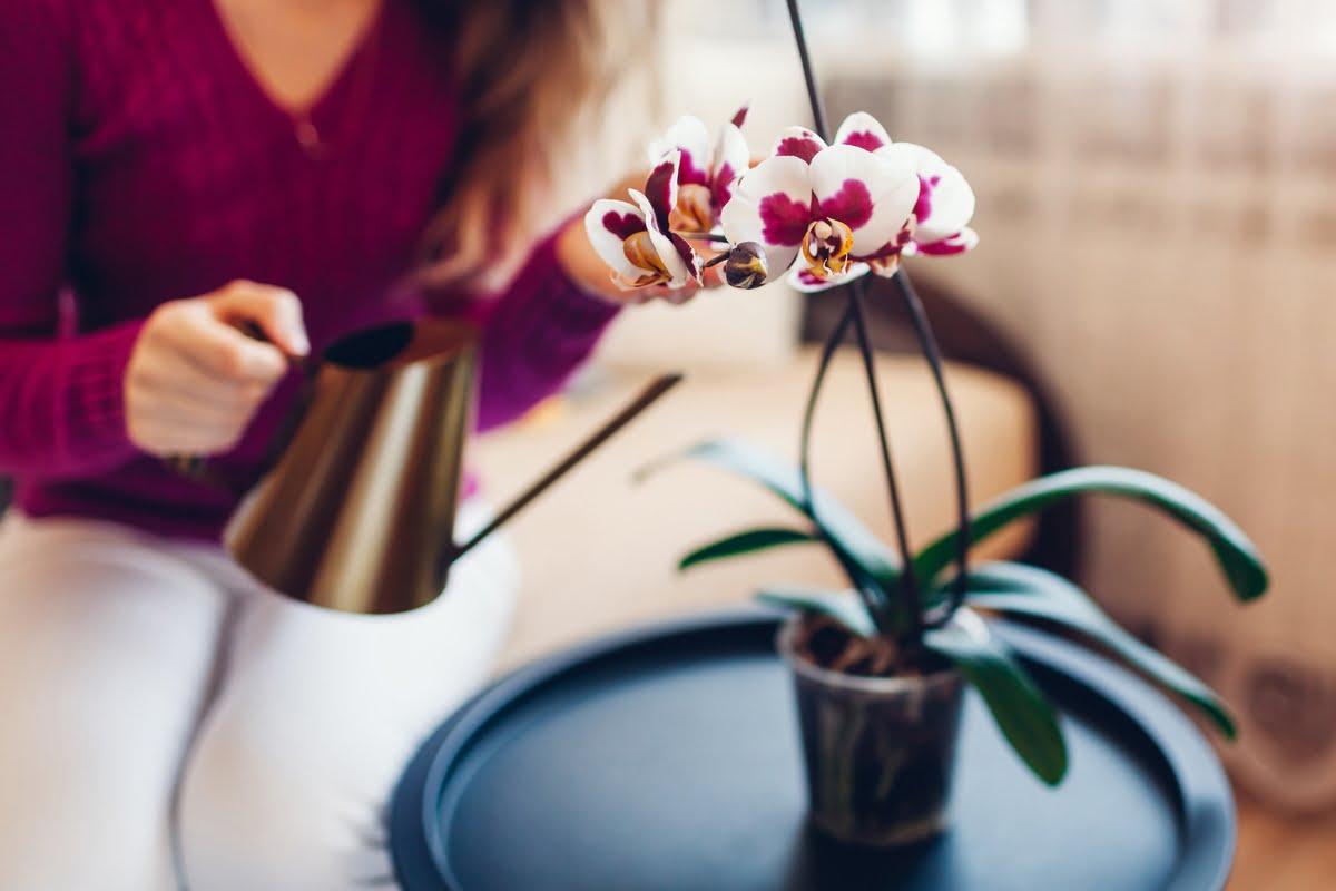 Come annaffiare le orchidee