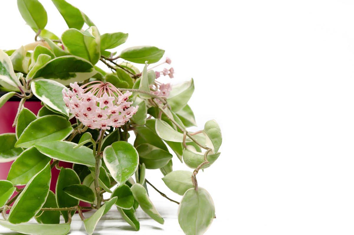Fiore di cera (Hoya carnosa)