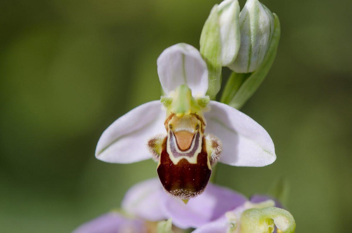 Ophrys apifera - vesparia - fior di vespa